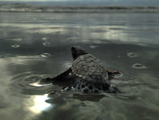 Nest of Loggerhead hatchlings emerged at dawn Monday in Cocoa Beach, Fla.