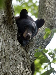 A black bear died in Michigan in 2011 of chocolate