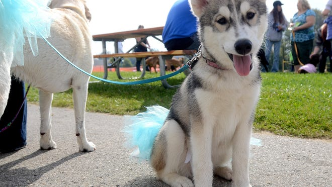 A husky sits before heading out to march, Sunday, Sept. 28 during the annual Mutt March at Goodells County Park.