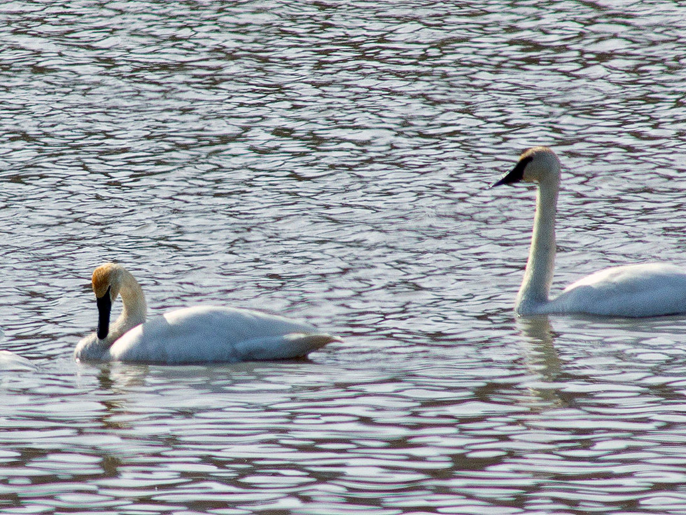 -Trumpeter Swans 1.jpg_20130401.jpg