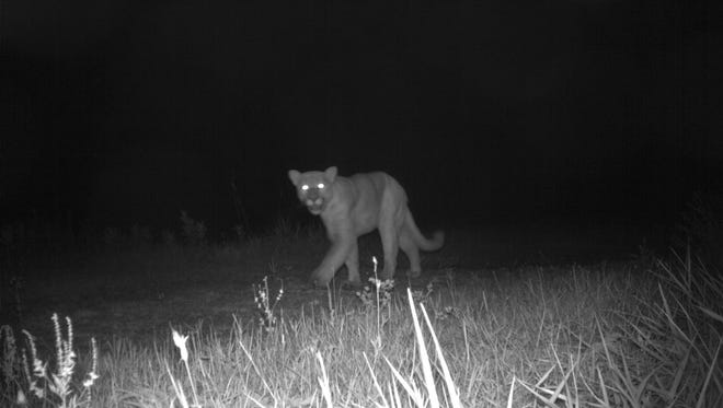 A trail camera captured this image of a cougar Sept. 26, 2017 near Cutler, in Juneau County.