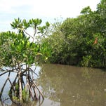 Could mangrove northern expansion temper global warming?