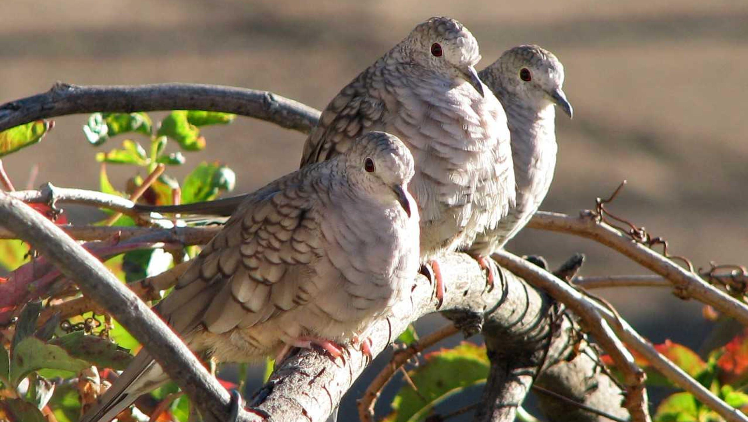 Mourning dove symbolism native american choice image symbol and naturally speaking doves said to symbolize peace renewal buycottarizona buycottarizona