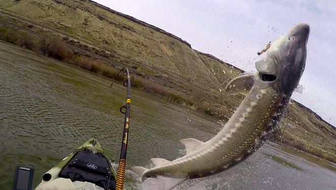 A monster sturgeon was caught by an Idaho angler off a kayak.