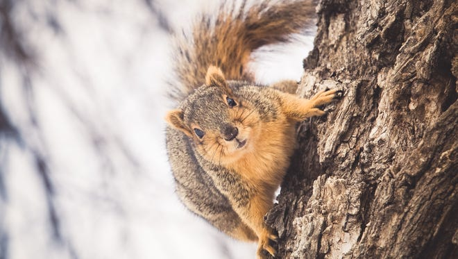 A cute squirrel posing closeup for a portrait on a tree trunk while looking straight into the camera lens.