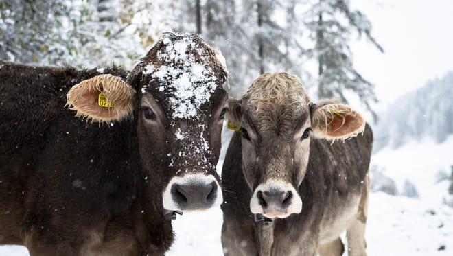 Two cows stand in the snow near Lenzerheide, eastern Switzerland, Wednesday, Oct. 22, 2014. A cold front from northwest has hit the country with heavy winds, rain and snow in higher regions. (AP Photo/Keystone, Gian Ehrenzeller)