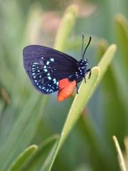 Atala Butterfly (Eumaeus atala) on a Coontie.
