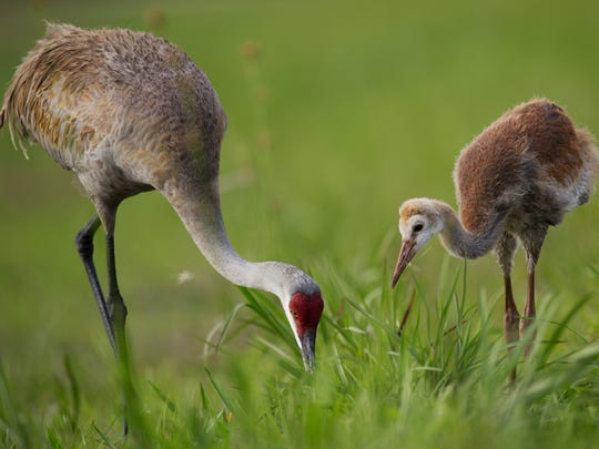A sandhill crane and it's chick feed at Harn's Marsh