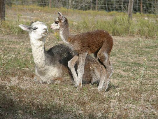 Shear Bliss Alpaca Ranch in Papalote will host a National