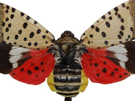 The colorful spotted lanternfly adult is unmistakable