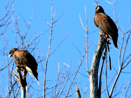 (L to R) Marie and Donnie, Harris's hawks that belong to John Shuell of White Lake stand at the top of trees on look out for rabbits on public land in Hartland, Mich. on Friday, Dec. 4, 2015.