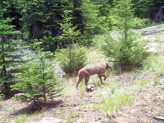 A bobcat showed up on Dominic Aiello's trail camera.