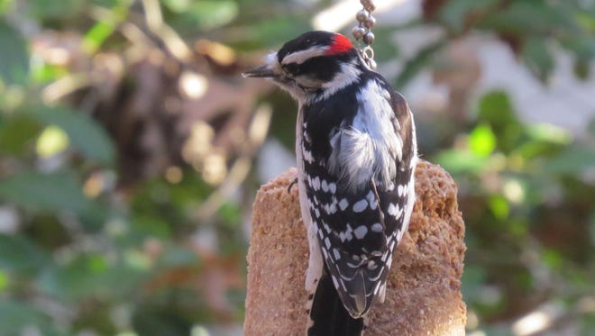 A downy woodpecker feeds on suet.