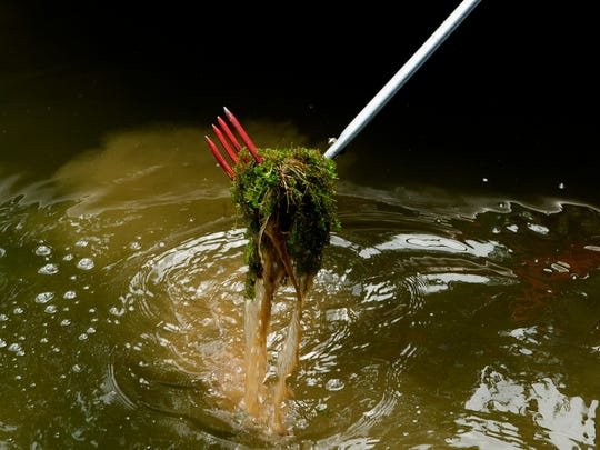 Hydrilla is pulled from the water during a media day held by TVA plant management biologists at Watts Bar Reservoir in Rockwood, Tennessee on Thursday, June 29, 2017. The TVA is involved in the plant management of invasive aquatic plants that mass around docks and rivers which can force native plant life from its natural habitat.