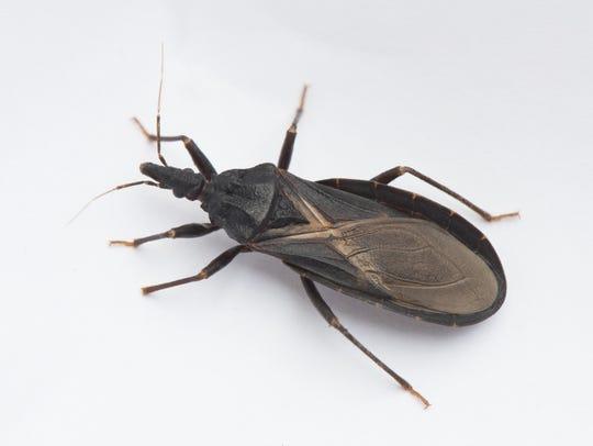 Conenose bug (aka kissing or assassin bug): Stealthy