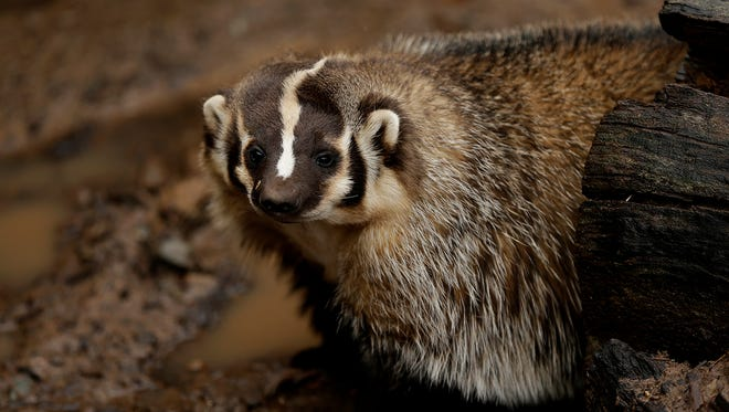 Helen, a North American badger, peeks out from a log as it wanders in its exhibit Wednesday at the NEW Zoo in Suamico.