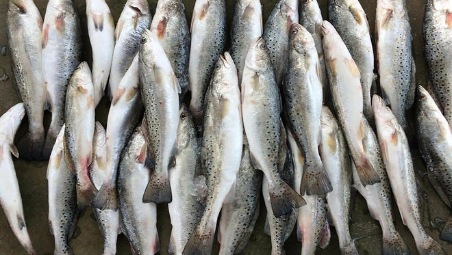 Speckled trout are shown in this file photo.