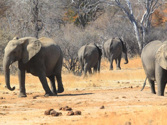 Elephants roam freely near the railway track that Cecil the lion crossed when he was lured onto a farm in an alleged illegal hunt in Hwange, Zimbabwe.