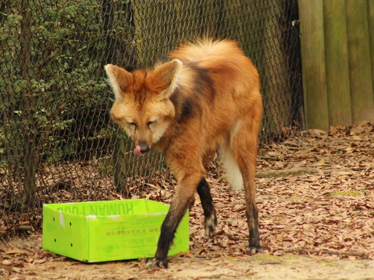 Elmer the Maned Wolf licks his lips after sampling a treat inside a brightly colored box during Animal Enrichment Day at the Montgomery Zoo Saturday. (Alvin Benn/Special to the Advertiser.)