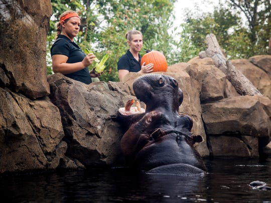 Bibi enjoys a pumpkin treat in the Hippo Cove Friday,