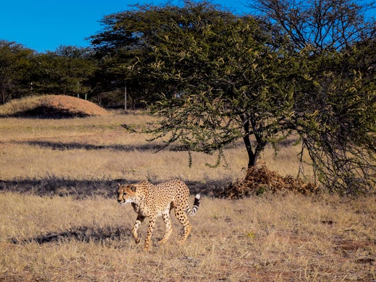 A cheetah takes part in a run at the Cheetah Conservation Fund in Namibia Friday, July 21, 2017. The organization is working to save cheetahs by mitigating conflicts with farmers and through research, education and habitat restoration.