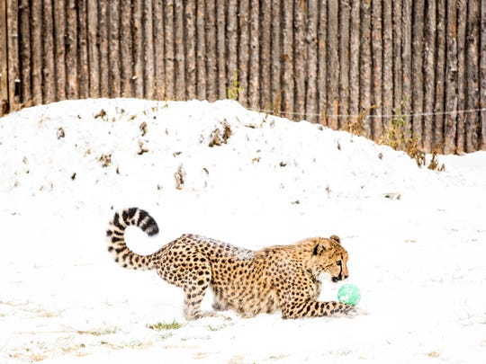 Donni plays with a ball in the snow in the big cat yard at the Cincinnati Zoo & Botanical Garden Friday, January 6, 2016. Cheetahs can use their tails to help steer and balance when running.