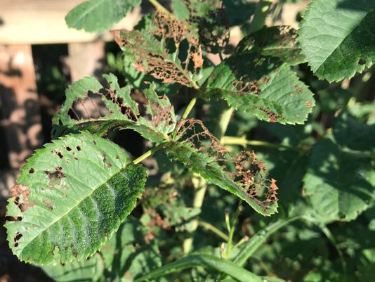 636674360137577090-japanese-beetle-damage-on-roses-byington37104513-2198909516786904-2104257937491886080-n.jpg