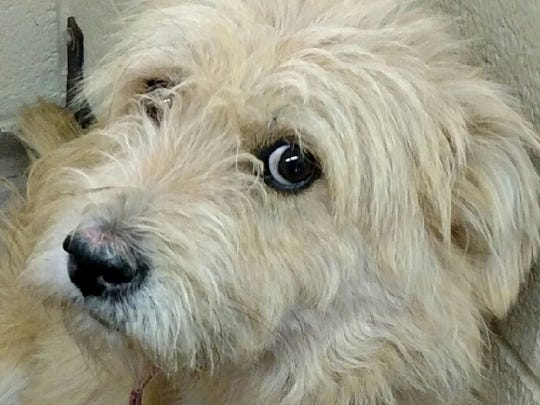 This 1-year-old or 2-year-old male white terrier mix was left in the outside lockup. His adoption fee is $177.53 plus tax. For more information about adopting a Pet of the Week or other furry friends visit Alamogordo Animal Control, 2910 N. Florida Ave., Monday through Saturday between noon and 5 p.m. or contact them at 439-4330.