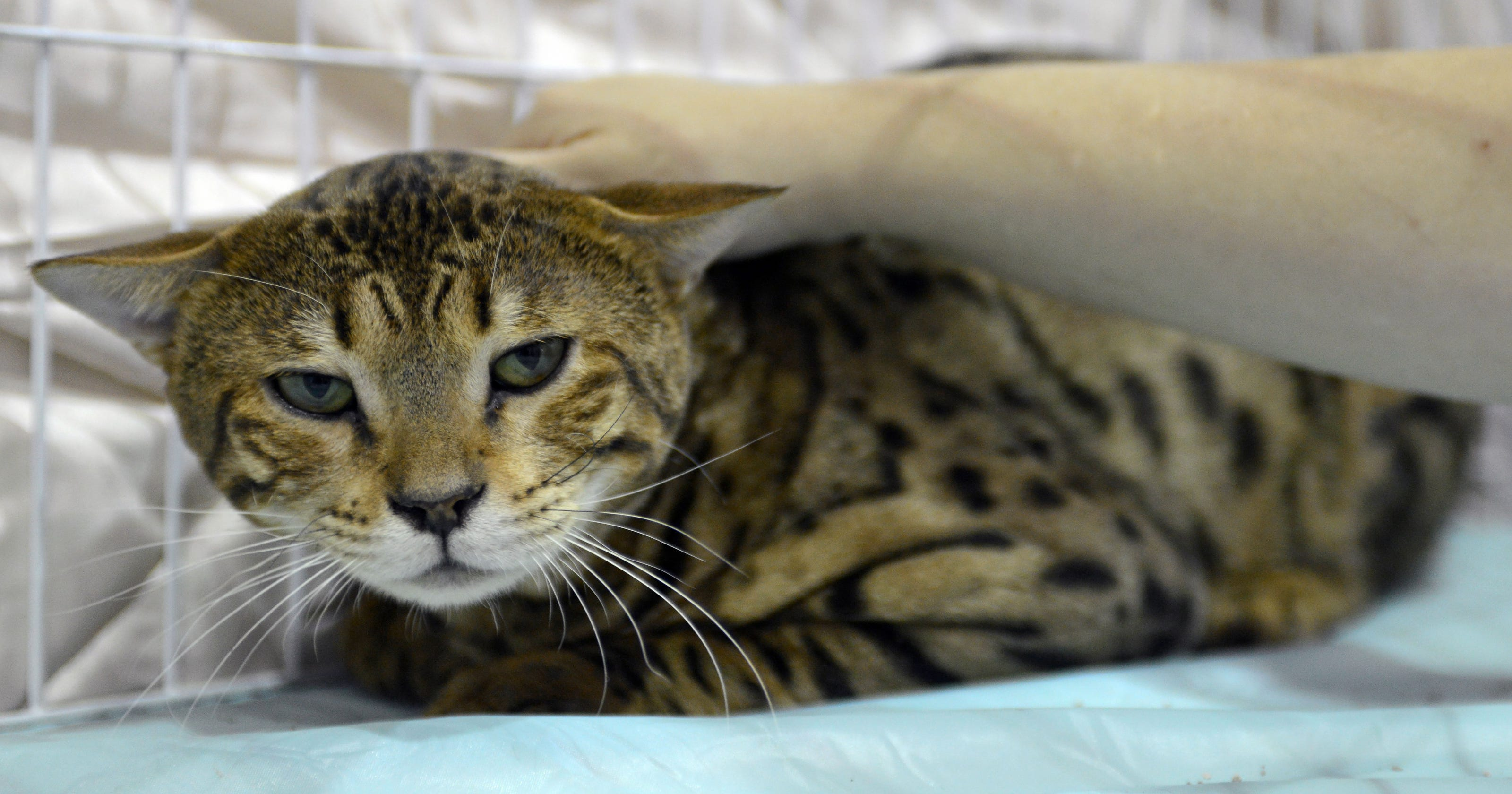 5 things to know about savannah cats