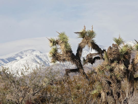 A Joshua Tree in Morongo Valley and the Little San