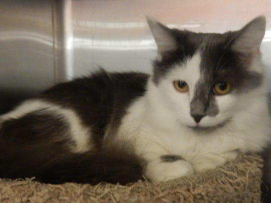 Sasha is a 9-month-old, spayed, female blue-gray and