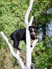 Luka, the Andean cub, at the Phoenix Zoo.