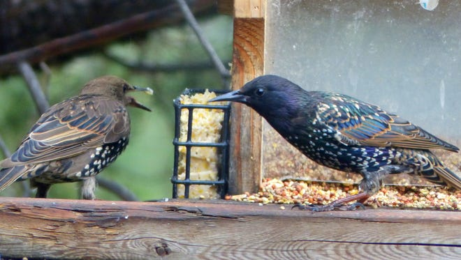 Two starlings disagree over access to some suet.