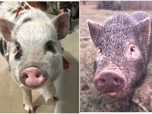 DW-Pigs-Dyna-and-Opal.jpg