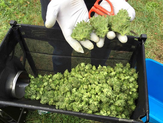In this Sept. 30, 2016, file photo, a marijuana harvester