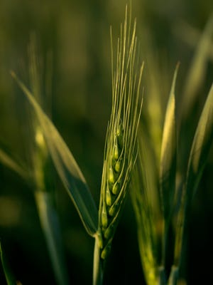 A stalk of winter wheat stands in a field Thursday, May 10, 2018, in Toulon, Kan. Farmers are expected to harvest their smallest winter wheat crop in more than a decade due to ongoing drought in the region.