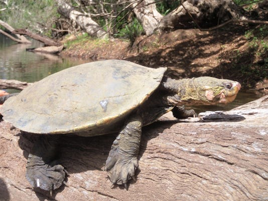 WHITE THROATED SNAPPING TURTLE