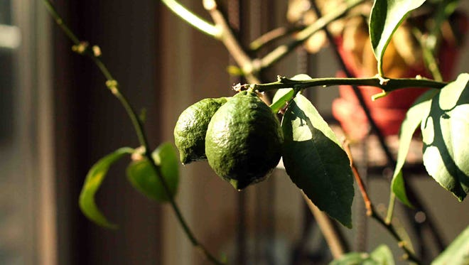 Citrus trees grown indoors require many hours of sunlight or supplemental light.
