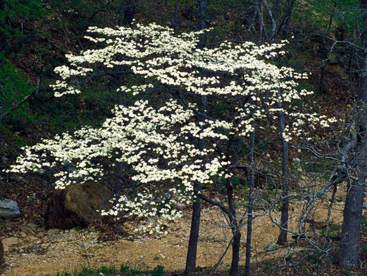 flowering-dogwood-tree.jpg