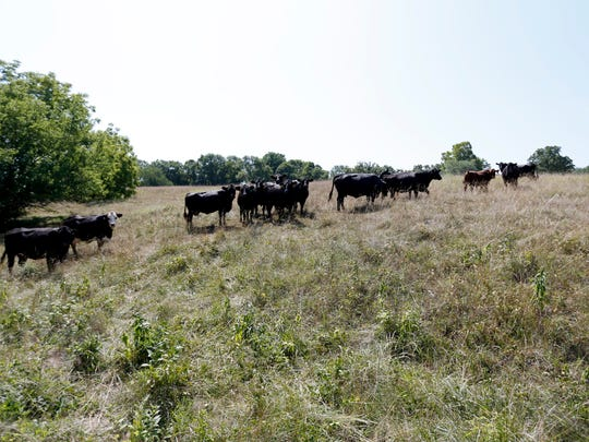 Part of the herd of at least 550 cows at a farm in rural Cedar County on Friday, July 13, 2018. Farmers are bracing for the impact that tariffs could bring to the livestock industry.