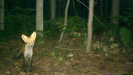 University of MichiganA red fox at the U-M Biological Station.