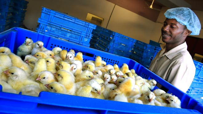 Chicks are stacked to be distributed at Haiti Broilers in Lafiteau, Haiti.