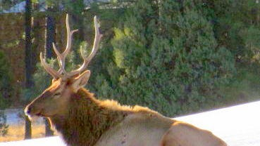 With snow driving golfers away, a bull elk takes a quick nap on a putting green at The Links Golf Course.