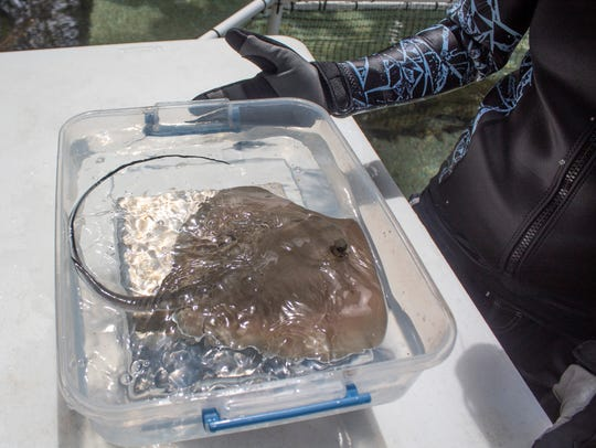 Belle the southern stingray gave birth to two stingray