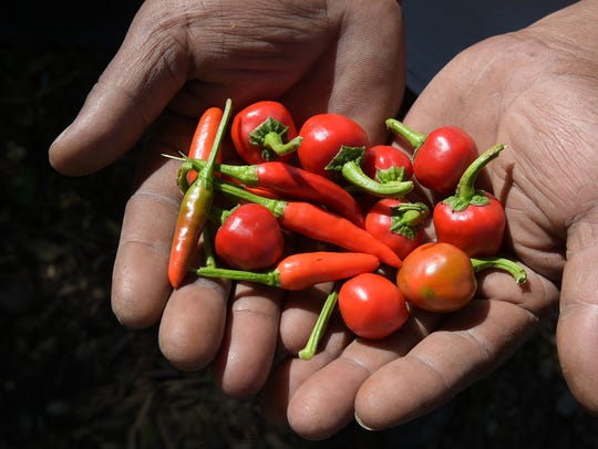 Nepalese refugee Chandra Poudel shows two varieties
