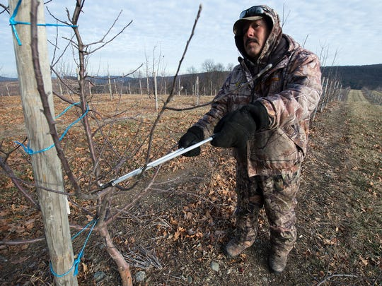 Jose Beltran, a former migrant worker now working on a work visa trims fruit trees on a 19 degree day at Three Springs Fruit Farm near Aspers, Pennsylvania Monday January 9, 2017. Beltran says he isn't taking jobs away from people because no one else wants to do the job he is doing.