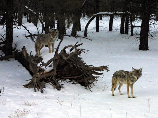 A pair of coyotes emerge from the forest