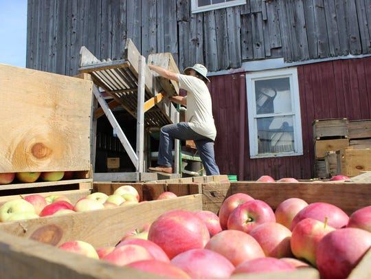 Stan Carlson dumps hand-picked Chapin Orchard apples