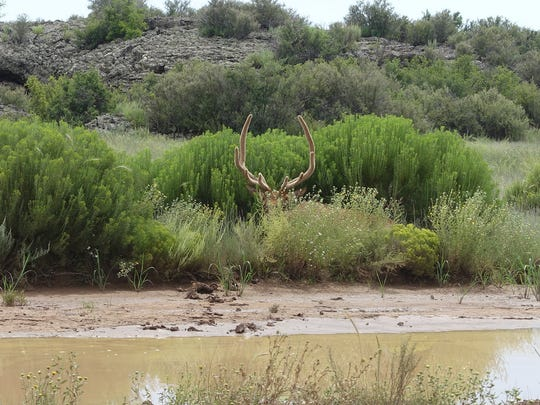 Visitors to public lands may even be lucky enough to see a bull elk secretly resting near a stock tank. Look closely!