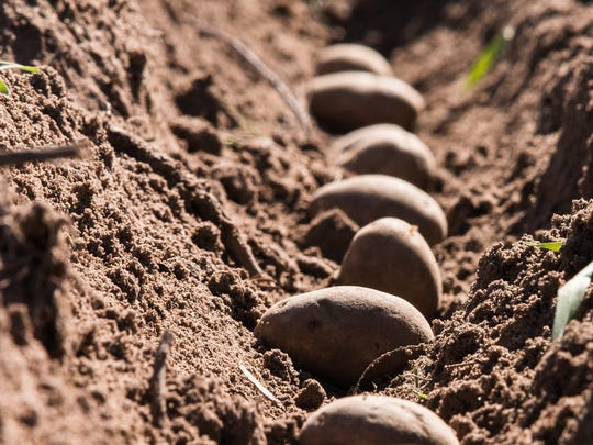 Potato planting at the UW-Madison Hancock Agricultural